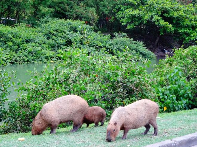 HUGE Capybaras