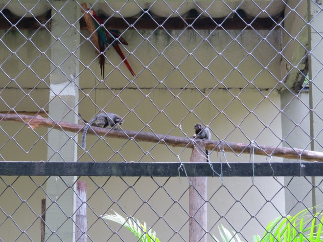 Monkeys sneaking in the Macaw cage for fruit.