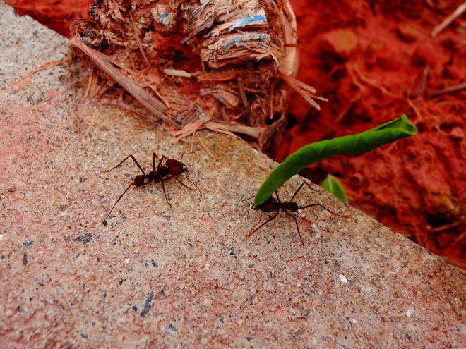 Cutter ants are so cool to watch!