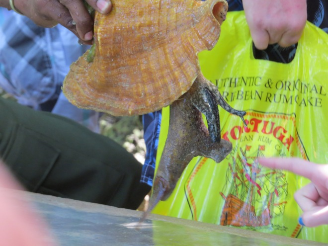And just in case you don't know what Conch meat looks like :)