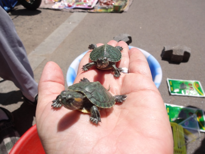 Meet Xiao Wei and Xiao Ting my little Turtle babies!