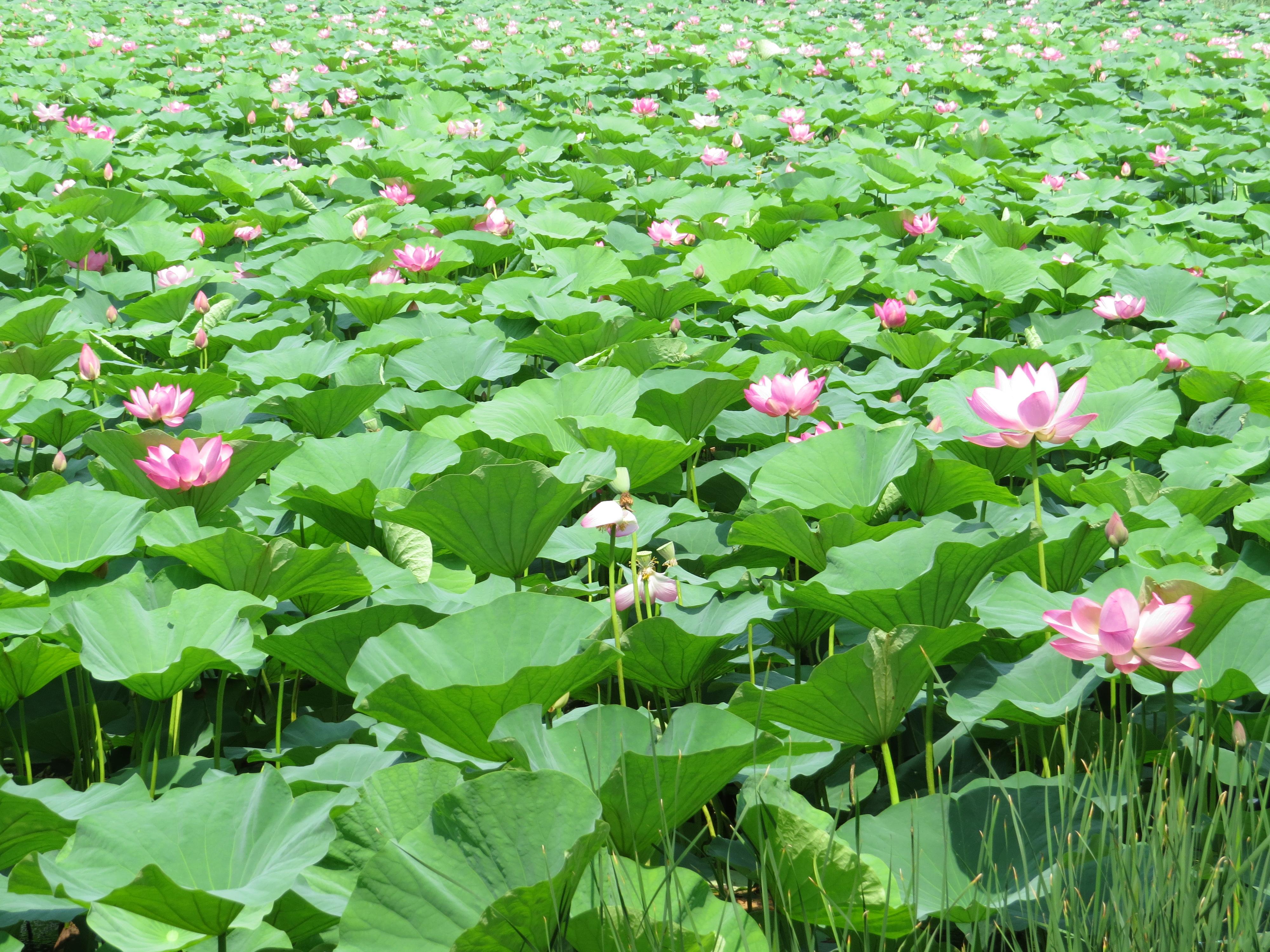 Lotus garden adventure for two lotus garden izmirmasajfo